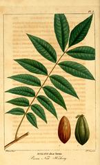 botanical pecan image