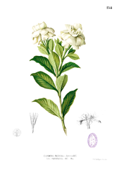 Botanical drawing of a gardenia