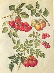 17th century tomato illustration