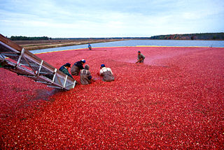 Wet harvesting cranberries