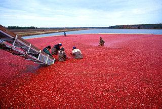 Wet harvesting cranberries