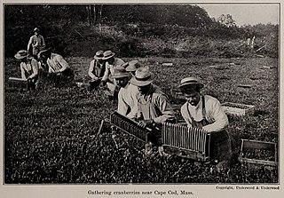 Dry harvesting cranberries