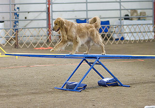 Golden Retriever on teeter-totter