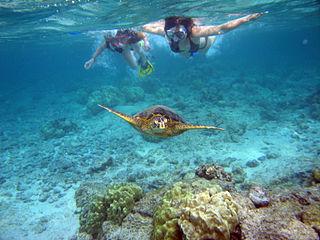 snorkelers with sea turtle. Kahalu`u Bay