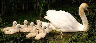 Swan with nine cygnets