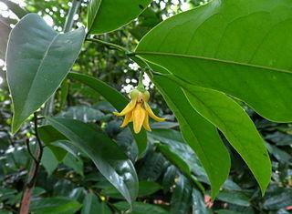 Ylang-Ylang Blossom