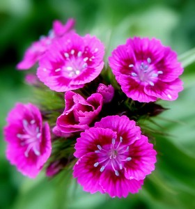 561px-Pink_Sweet_William_flowers