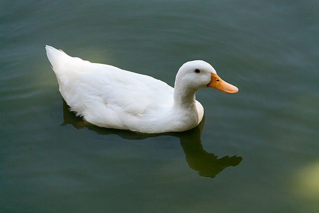 WHITE DUCK TALES