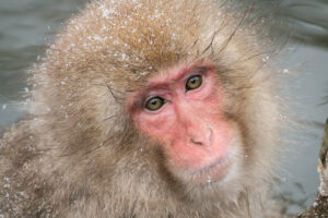 Photo of snow monkey