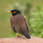 668px-Mynah_bird