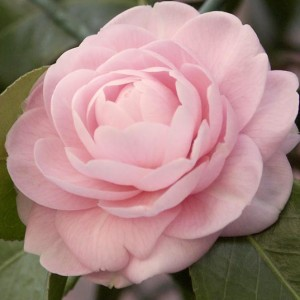 Camellia003bNoBorder