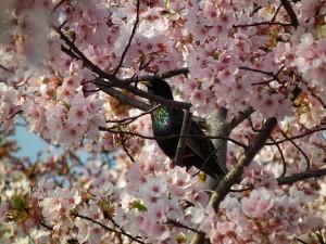 Cherry_Blossom_DC_2014_(13914263019)