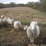 Confrontational_Sheep_on_Whin_Loan,_near_Kilsyth_-_geograph.org.uk_-_162069