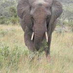 Elephants, Ivory & Conservation
