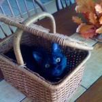 Koa Cat's Illustrious Ancestors