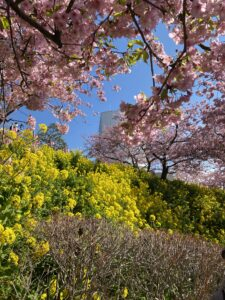 cherry blossoms & grape seed rape