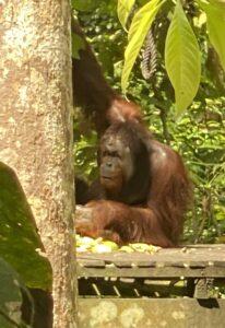 adult male orangutan feeding