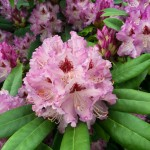 RHODODENDRONS BLOOM IN THE SPRING — Tra-La