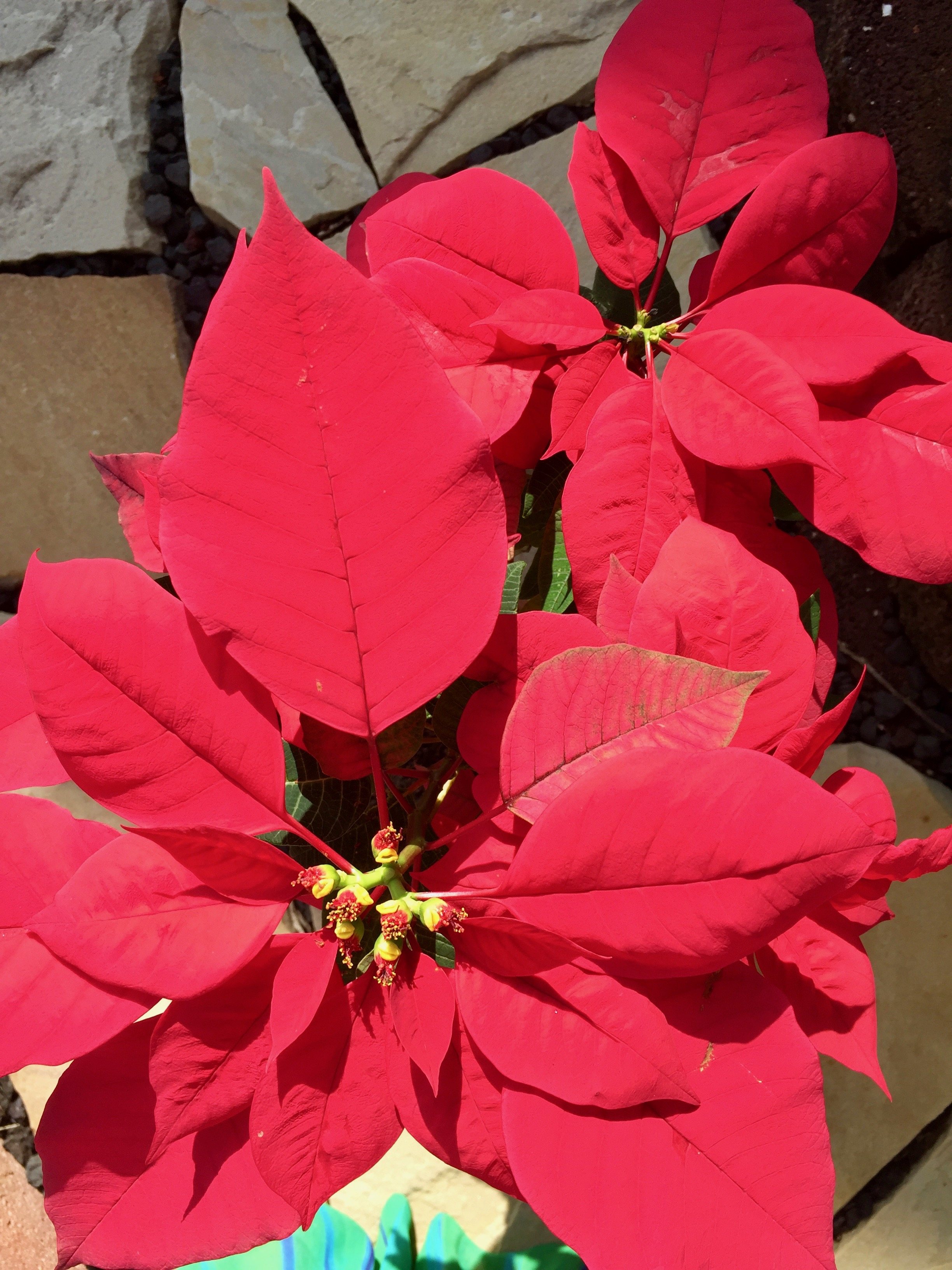 POINSETTIAS & CHRISTMAS