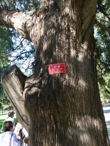Red tagged Cyprus tree is 100 years old