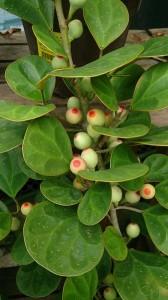 Mistletoe_Fig_(Ficus_deltoidea)