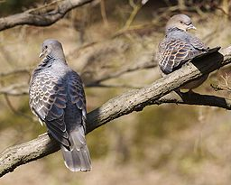 Pair of Oriental Turtledoves, Wikipedia Commons