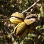 In-husk pecan nuts