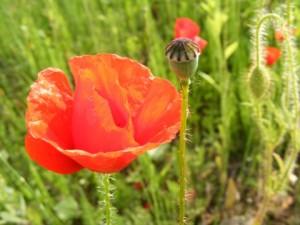 Red-Poppy-Flower-Field_286118-480x360_(4900387030)