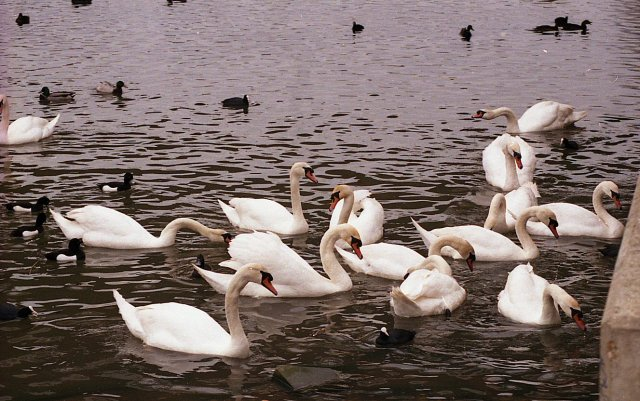 Swans on Radipole Lake, John Firth, 1992, Wikipedia Commons