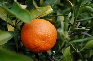 TangerineFruit