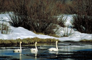 Three_Trumpeter_Swans_swimming_in_icy_water