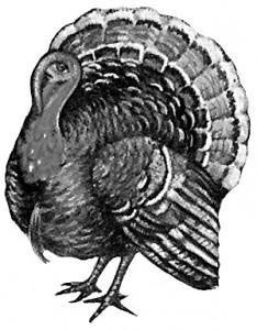 Turkey_(bird)_-_B&W_drawing